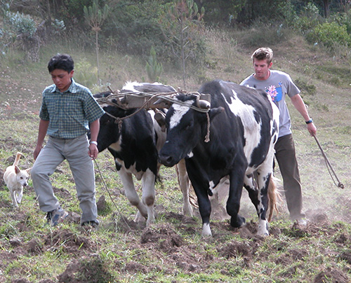 An Ecuadoran boy wearing a short sleeve shirt and light pants leads a team of oxen as a UW male student follows behind to work the plow.