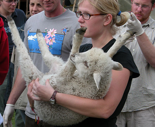 A UW woman student holds a lamb with its feet up in her arms. She has on a black shirt and red glasses.